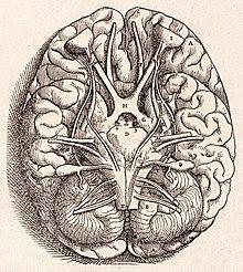 Hirnbasis in Vesalius' Fabrica (1543) (Quelle: Wikimedia)