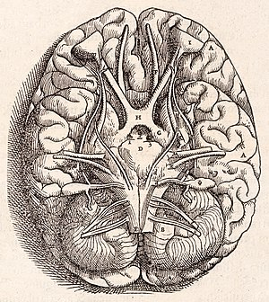 Andreas Vesalius - Base of the brain, showing the optic chiasma, cerebellum, olfactory bulbs, etc.