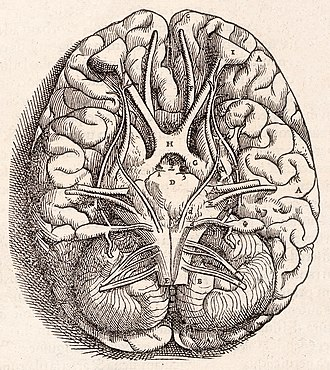 Cerebellum - Base of the human brain, as drawn by Andreas Vesalius in 1543
