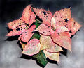 2007-12-17Euphorbia pulcherrimaGlitzerstern01.jpg