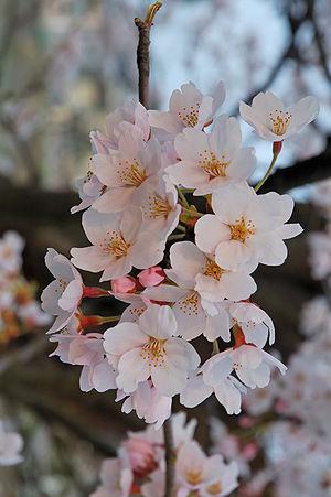Cherry blossom - Cherry blossoms in Fukushima