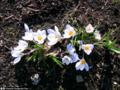 20080305 Crocus chrysanthus.png