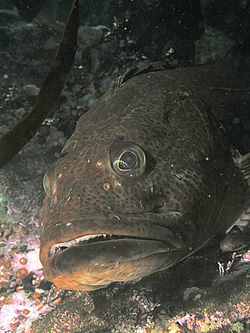 definition of lingcod