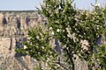 2012.09.14.111831 Shrub Mather Point Grand Canyon Arizona.jpg