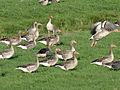 20131022 Grauwe ganzen buitendijksland vanaf de Mastenbroekerdijk.jpg