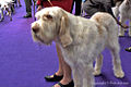 2013 Westminster Kennel Club Dog Show (8469036090).jpg