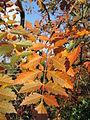 20141107Koelreuteria paniculata4.jpg