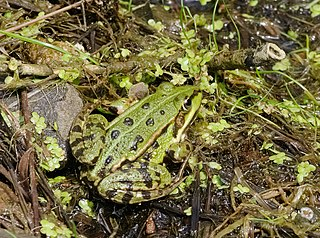 Skokan zelený (lat. Pelophylax esculentus, predtým Rana esculenta)