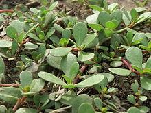 Пространственное растение с блестящими мясистыми листьями