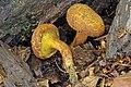 2016-10-05 Buchwaldoboletus lignicola (Kallenb.) Pilát 674756.jpg