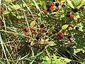 2017-07-14 13 36 24 Ripening blackberries along Stone Heather Drive in the Franklin Farm section of Oak Hill, Fairfax County, Virginia.jpg