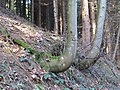 2017-11-24 (105) Fagus sylvatica (common beech) erected by the energy of the sun at Grüntalkogel, Lower Austria.jpg
