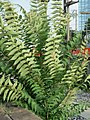 20170621Ailanthus altissima1.jpg