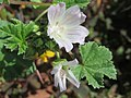20170806Malva neglecta2.jpg