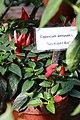 20171014 - Capsicum annuum 'Naschzipfel rot'.jpg