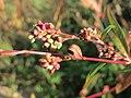 20171015Persicaria lapathifolia1.jpg