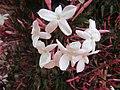 2018-03-05 Pink jasmine blossom (Jasminum polyanthum), Albufeira (1).JPG