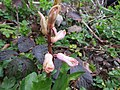 2018-03-28 Wild flower in Pretty Corner, Sheringham.JPG