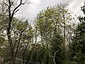 2019-04-14 18 36 01 A sassafras sapling flowering along a walking path in the Franklin Glen section of Chantilly, Fairfax County, Virginia.jpg