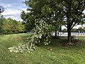 2019-08-21 08 48 19 A Red Maple branch broken during a severe thunderstorm along a walking path in the Franklin Farm section of Oak Hill, Fairfax County, Virginia.jpg
