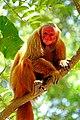 2019-10-06 Uakari Monkey 01.jpg