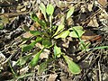 20190308Claytonia perfoliata4.jpg
