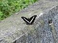 347紫單帶蛺蝶5(黃桂英攝) (18860226289).jpg