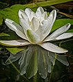 3497 waterlily at the create eco home (15065794955).jpg