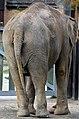 50 Jahre Knie's Kinderzoo - Elephas maximus 2012-10-03 15-40-17.JPG