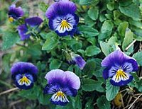 The pansy, symbol of freethought.