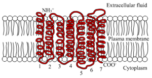 Follicle-stimulating hormone receptor - The seven transmembrane α-helix structure of a G protein-coupled receptor such as FSHR