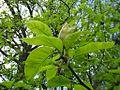 837. magnolia Gdańsk1.jpg