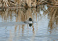 8952 ring necked duck nowak odfw (8509668741).jpg