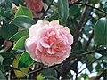 A Camellia flower - Flickr - Matthew Paul Argall (1).jpg