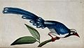 A bird, possibly a tropical kingfisher. Coloured etching by Wellcome V0022370.jpg