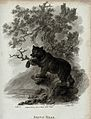 A brown bear climbing up a tree. Etching by J. Tookey after Wellcome V0020737.jpg