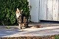 A cat in Santa Clara, California.jpg