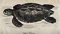 A green turtle swimming in the water. Etching by Heath. Wellcome V0021229.jpg