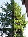 A larch partly in shadow.JPG