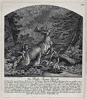 White stag - A white stag brought down by a pack of dogs. Etching by J.E. Wellcome