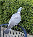 A wood pigeon at City of London Cemetery and Crematorium 01.jpg