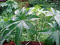 Aavanakk plant.JPG