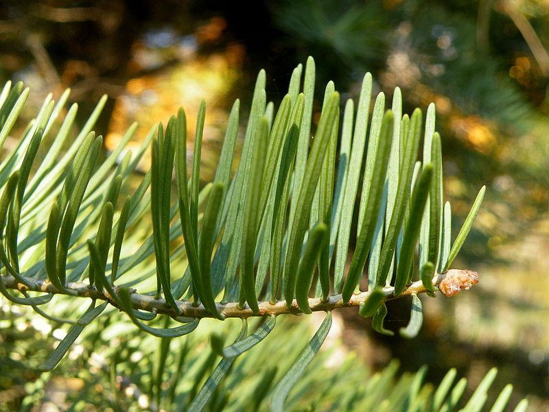 File:Abies concolor (5).JPG