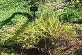 Acacia alata - Jardín Botánico de Barcelona - Barcelona, Spain - DSC08966.JPG
