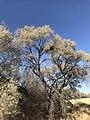 Acacia haematoxylon03.jpg