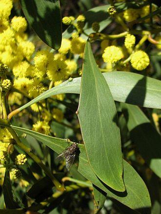 Acacia pycnantha - A fly visiting a nectary on a phyllode