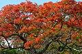 Acacia roja - Flamboyant (Delonix regia) (14505938746).jpg