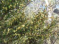 Acacia siculiformis (37804703482).jpg