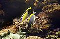 Acanthurus leucosternon 2618.jpg