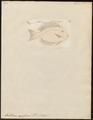 Acanthurus nigrofuscus - 1700-1880 - Print - Iconographia Zoologica - Special Collections University of Amsterdam - UBA01 IZ13700039.tif